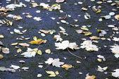 Folhas de maple no asfalto — Foto Stock