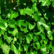 Vine leaves vine-prop 4690 — Stock Photo