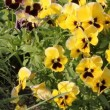 Stock Video: Yellow viola