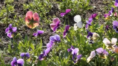 Assortment of Pansies (Viola tricolor hortensis) — Stock Video