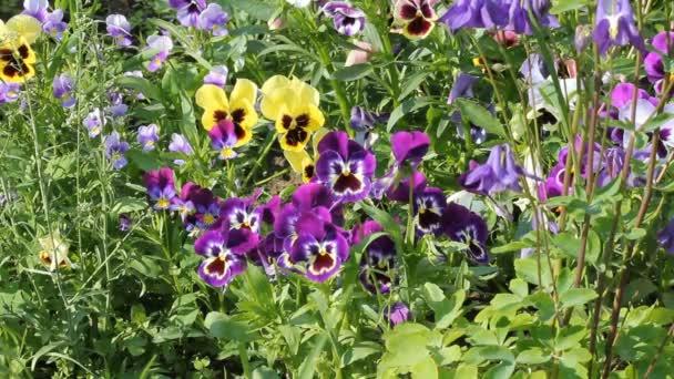 Surtido de pensamientos (Viola tricolor hortensis) — Vídeo de stock