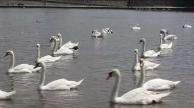 Swan cygnets feeding on a river — Stock Video