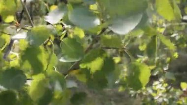 Leaves of a tree fluttering on wind — Stock Video