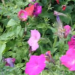 Butterfly on petunia flower — Stock Video