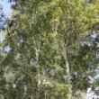 Birch trees in the strong wind — Stock Video