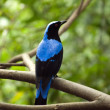 Stock Photo: AsiFairy-bluebird-2