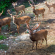 Burmese Brow-Antlered Deers (Eld's Deers) — Stock Photo