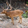 Burmese Brow-Antlered Deer (Eld's Deer) — Stock Photo