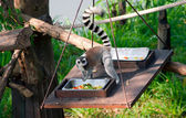 Eating ring-tailed lemur. — Stock Photo