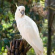 Stock Photo: Cockatoo-2