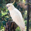 Stock Photo: Cockatoo
