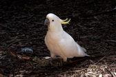 Cockatoo on a ground — Stock Photo