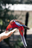 Feeding of rosella parot — Stock Photo