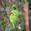 Swift parrots on a tree — Stock Photo