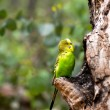 Budgerigar parrot near the nest — Stock Photo