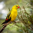 Stock Photo: Regent Parakeet