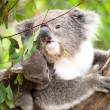 Koala and joey closeup — Stock Photo