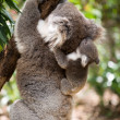 Koala with joey climbing on a tree — Stock Photo