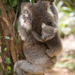 Koala with baby climbing on a tree — Stock Photo