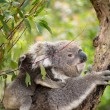 Koala and joey on her back — Stock Photo #34666735