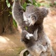 Koala and joey eating eucaliptus leaves — Stock Photo