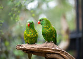 Scaly-breasted Lorikeet — Stock Photo