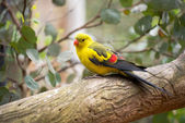 Regend parakeet — Stock Photo