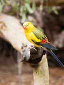 Rock pebbler parrot — Stock Photo