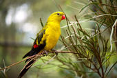 Regent Parakeet — Stock Photo