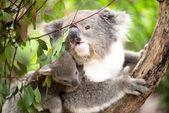 Koala and joey closeup — Stock Photo