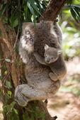 Koala with baby climbing on a tree — Stock Photo
