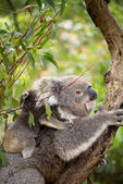 Koala and joey on her back — Stock Photo