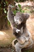 Koala and joey eating eucaliptus leaves — Stock Photo