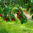 Cherry tree branches with cherries — Stock Photo