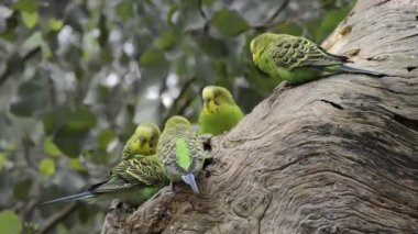 Budgerigar parrots near the nest — Stock Video