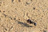 Trabajo hormiga — Foto de Stock