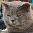 British Shorthair — Stock Photo