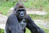 Gorilla's male portrait — Stock Photo