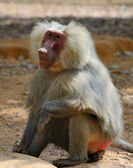 Hamadryas baboon — Stock Photo