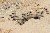Ants — Stock Photo