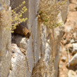 Syrian rock hyrax — Stock Photo
