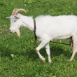Stock Photo: White goat on the pasture with green grass