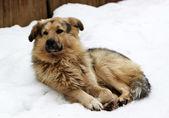 Cane randagio con occhi tristi sulla neve — Foto Stock