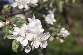 White flowers of apple tree — Stock Photo