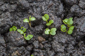Young seedlings of radish growing on bed — Stock Photo