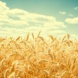 Gold wheat field and blue sky — Stock Photo