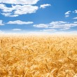 Gold wheat field and blue sky — Stock Photo #13512321