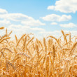 Gold wheat field and blue sky — Stock Photo #13512332