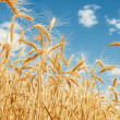 Gold wheat field and blue sky — Stock Photo #13512350