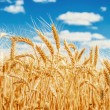 Gold wheat field and blue sky — Stock Photo #13512366